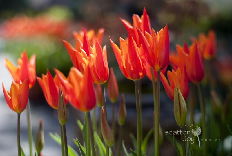 4-1-12_Filoli-Tulips-11