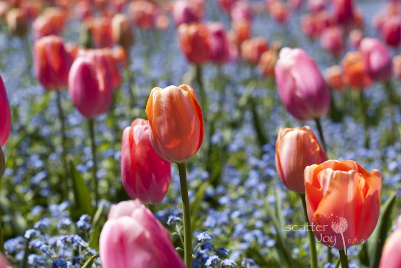 4-1-12_Filoli-Tulips-2-2