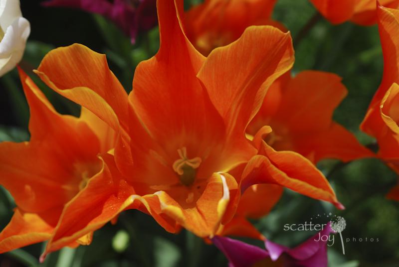 4-1-12_Filoli-Tulips-3