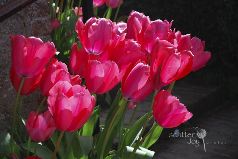 4-1-12_Filoli-Tulips-4