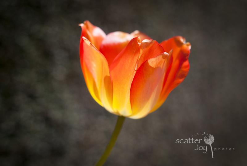 4-1-12_Filoli-Tulips-8