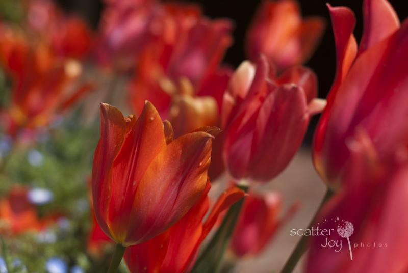 4-1-12_Filoli-Tulips-9