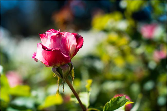 Image Result For San Jose Municipal Rose Garden