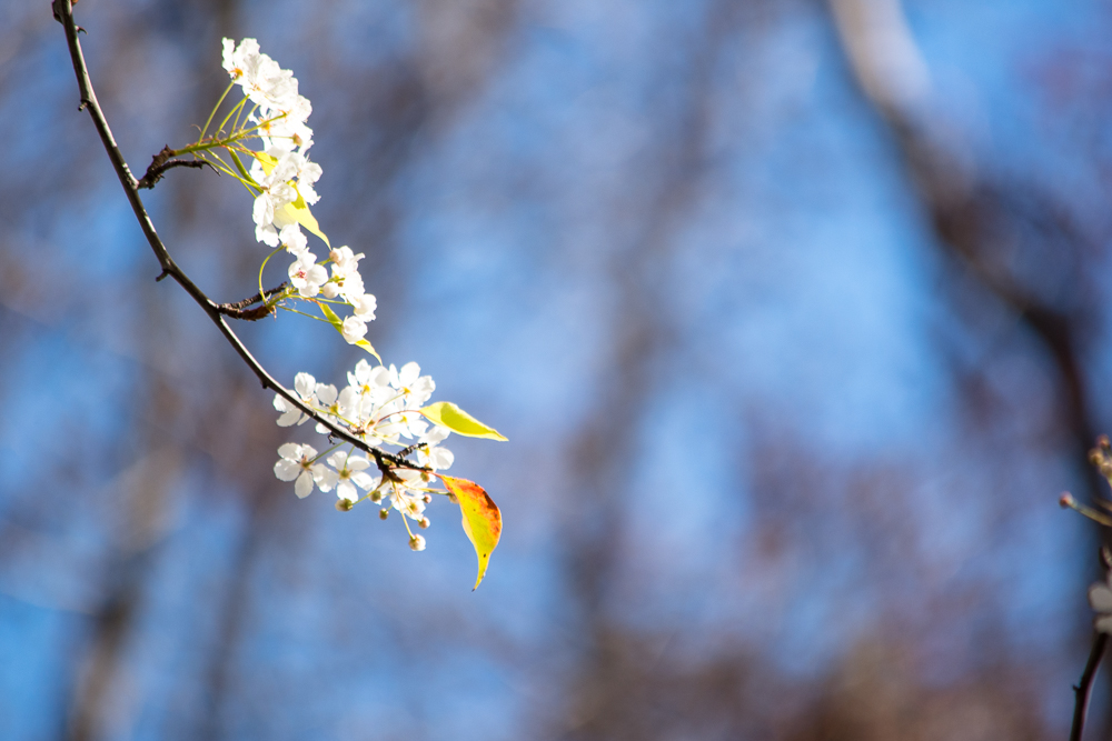 ScatterJoyPhotos_SpringBlossoms_Feb2016-14