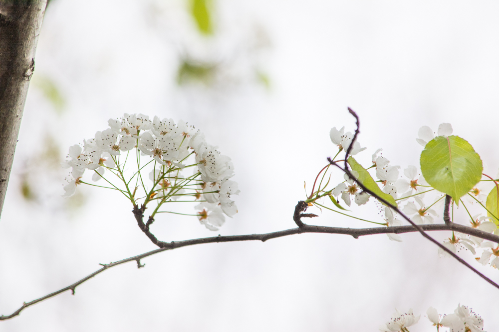 ScatterJoyPhotos_SpringBlossoms_Feb2016-4